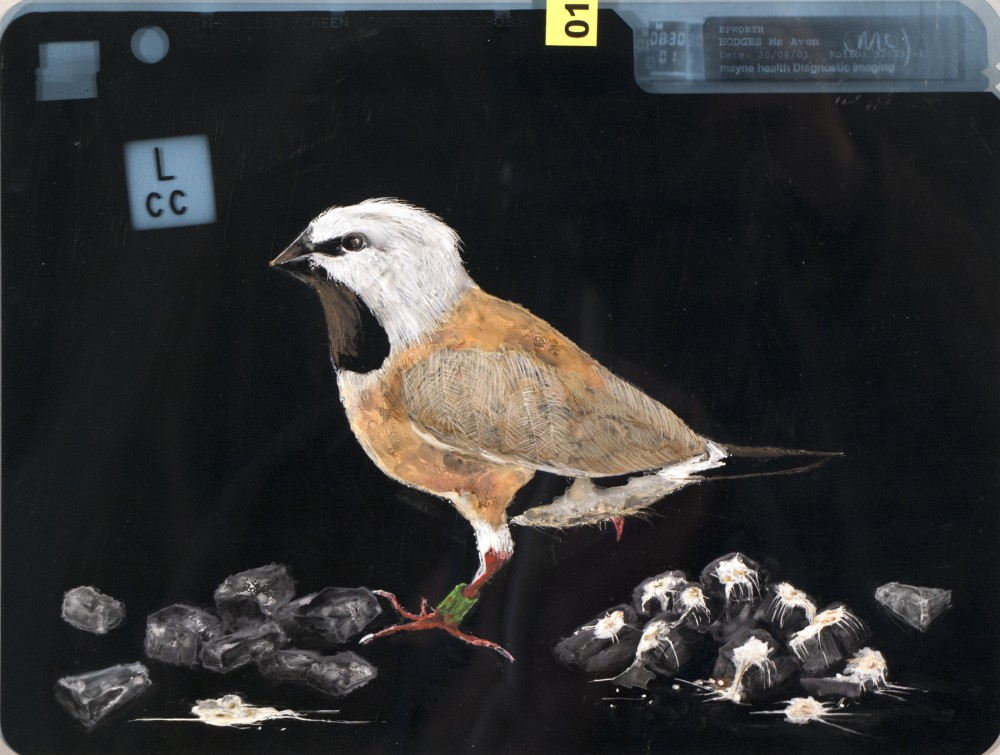 (for) Black Throated Finch Project. by Aven Hodgess